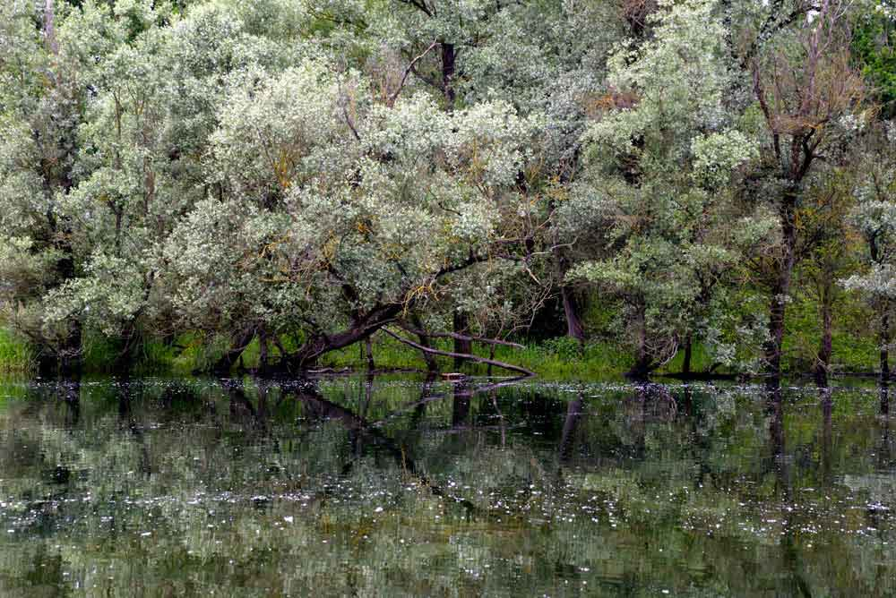 fioriture-acacia.jpg