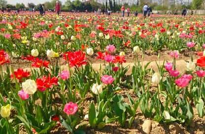 Tulipani Italiani 2019: la magia si ripete anche quest