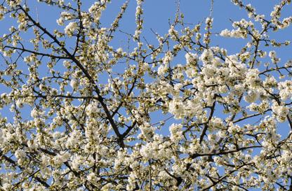 41° Marcia Dei Ciliegi In Fiore a Casterno