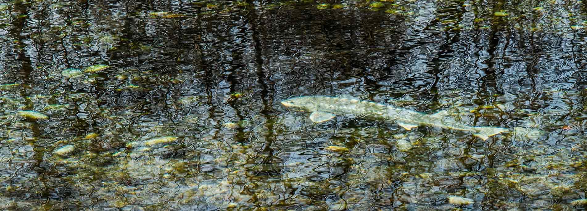 Gli alieni del fiume Ticino. Parliamo di specie ittiche alloctone
