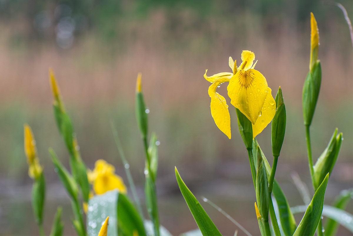 Iris Giallo selvatico