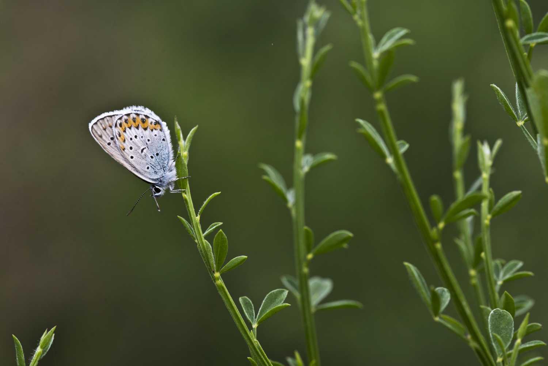 Argo azzurro - Sentiero delle Farfalle