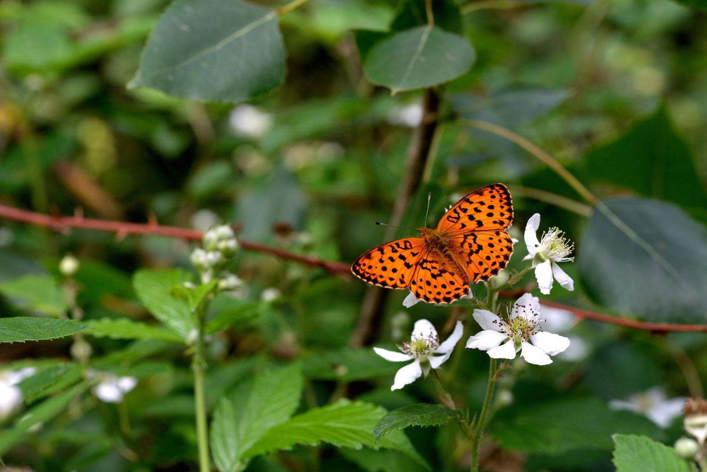 brenthis-daphne-sentiero-delle-farfalle.jpg