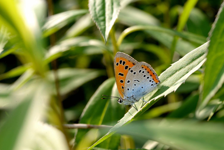 lycaena-dispar-sentiero-delle-farfalle.jpg