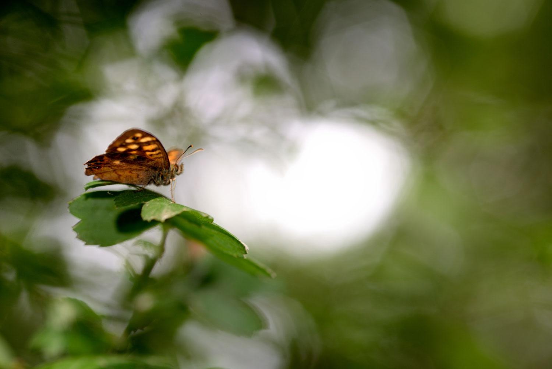 pararge-aegeria-sentiero-delle-farfalle-2.jpg