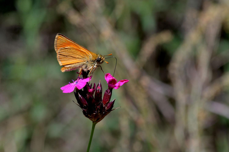 sentiero-delle-farfalle-ochlodes-venatus.jpg