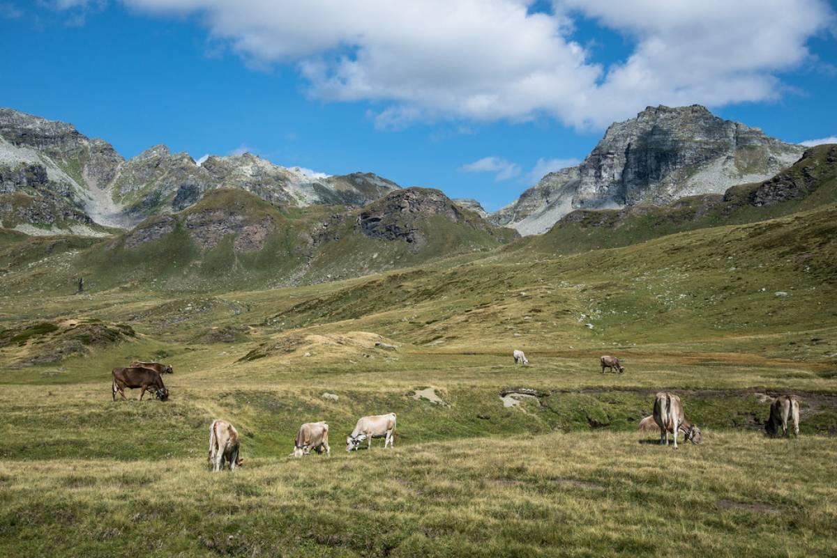 Pascoli all'Alpe Devero