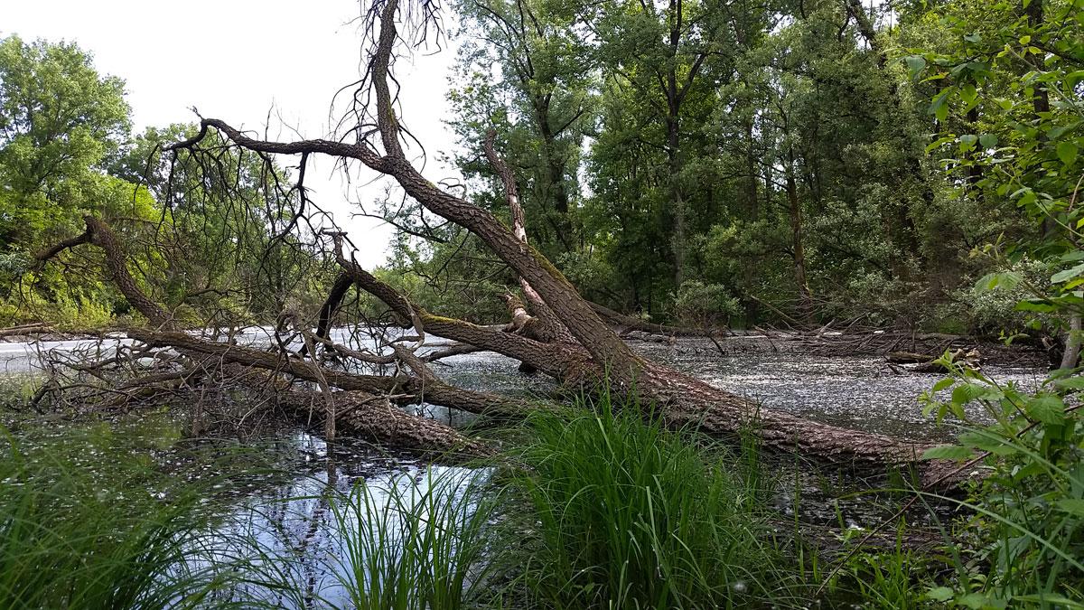 alberi caduti lanca di bernate