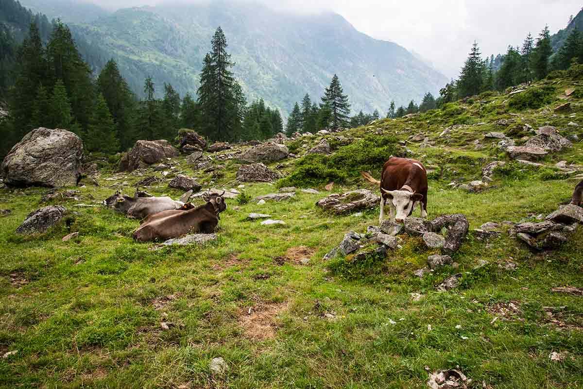 Mucche al pascolo risalendo al Calderini